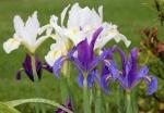 irises_may